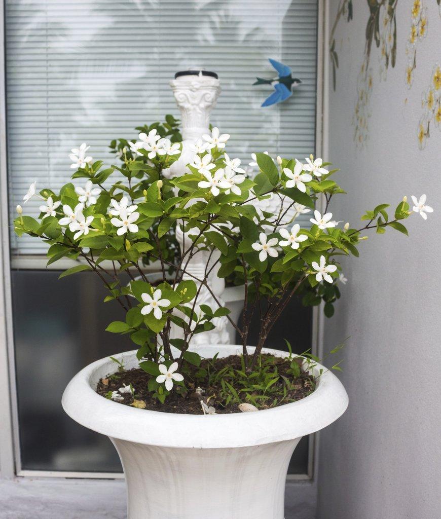 planter un jasmin en bac