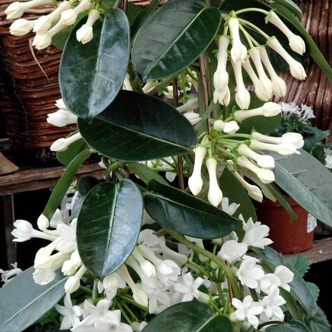 Stephanotis floribunda (syn= Marsdenia floribunda)