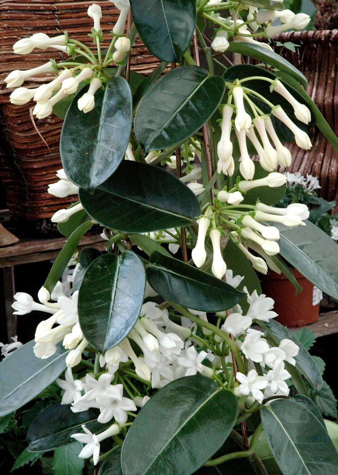 St phanotis planter et cultiver le jasmin de madagascar for Plante 150 maladies madagascar