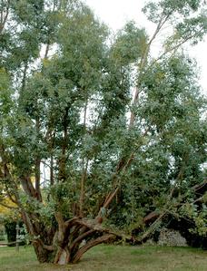 eucalyptus planter et tailler les eucalyptus. Black Bedroom Furniture Sets. Home Design Ideas
