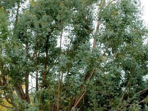 Culture et entretien de l'eucalyptus