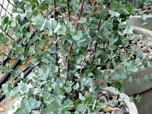 Multiplication de l'eucalyptus