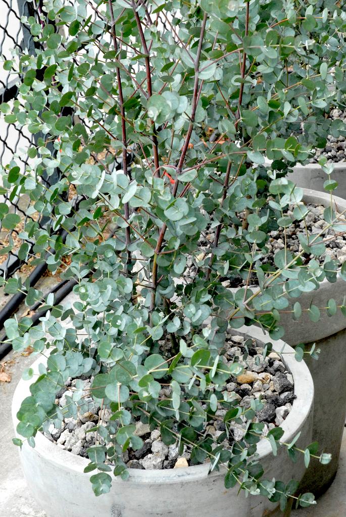 eucalyptus planter et tailler ooreka. Black Bedroom Furniture Sets. Home Design Ideas