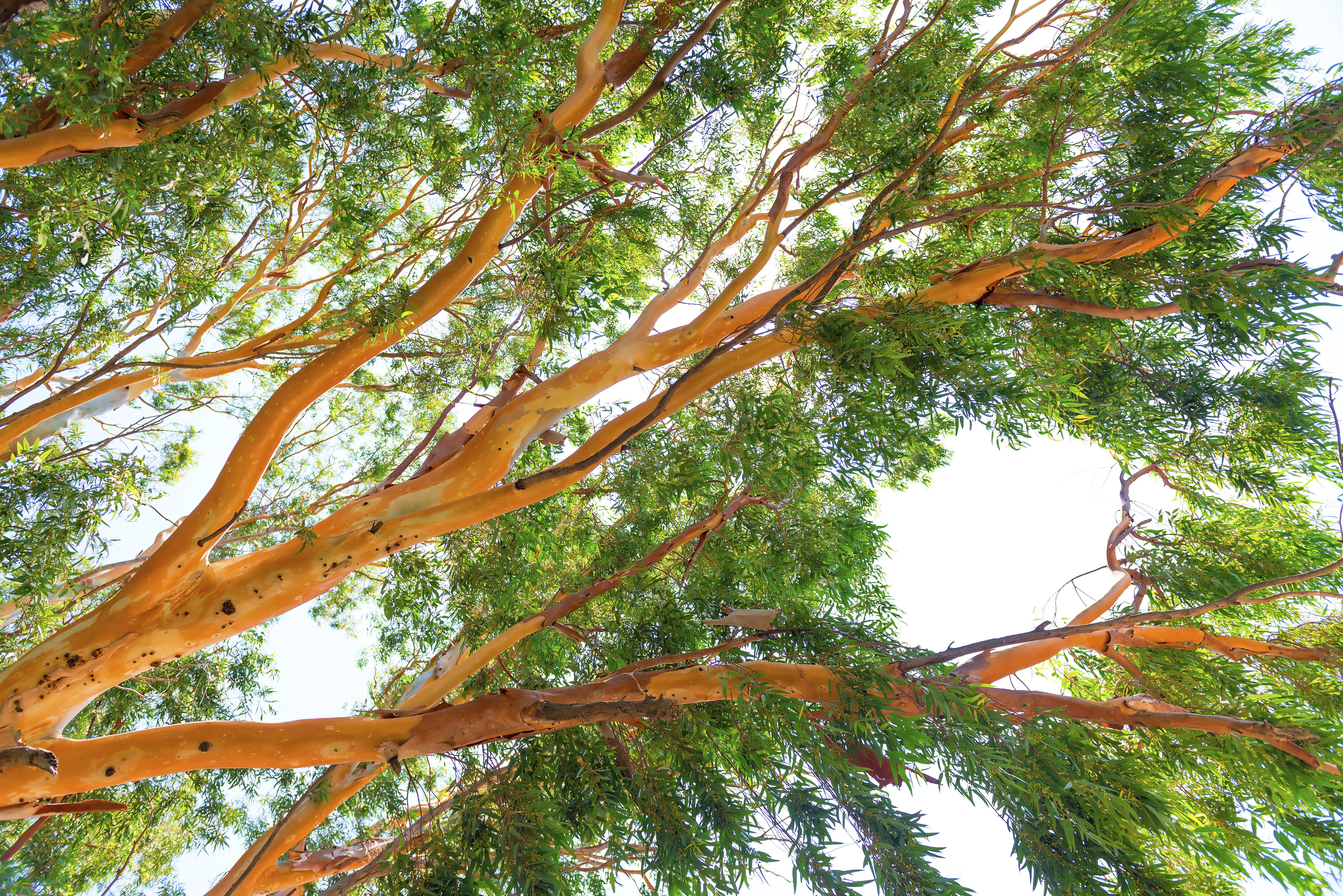 eucalyptus : planter et tailler – ooreka