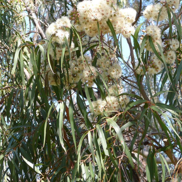 Autres variétés Eucalyptus citronné (Eucalyptus citriodora)