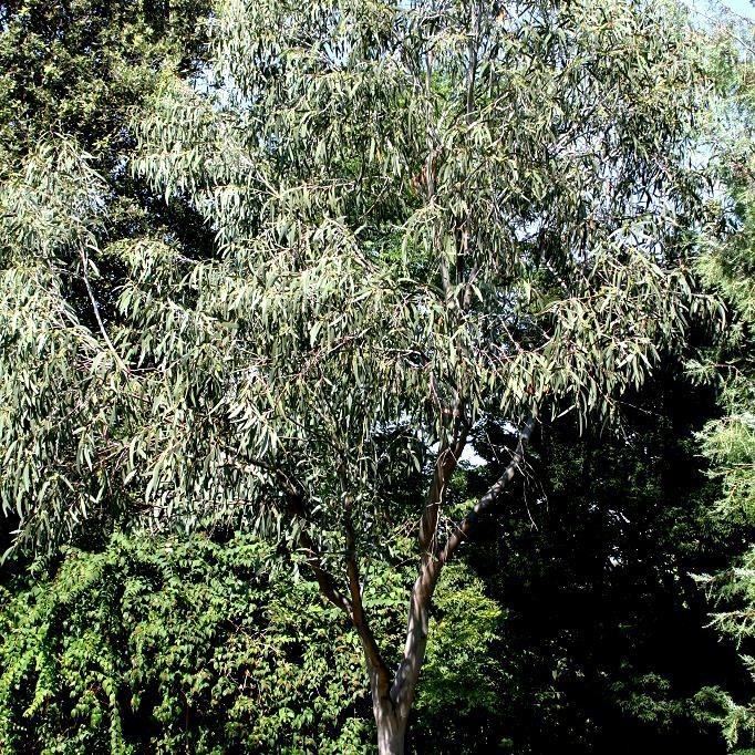 Variétés rustiques Eucalyptus des neiges (Eucalyptus niphophila)