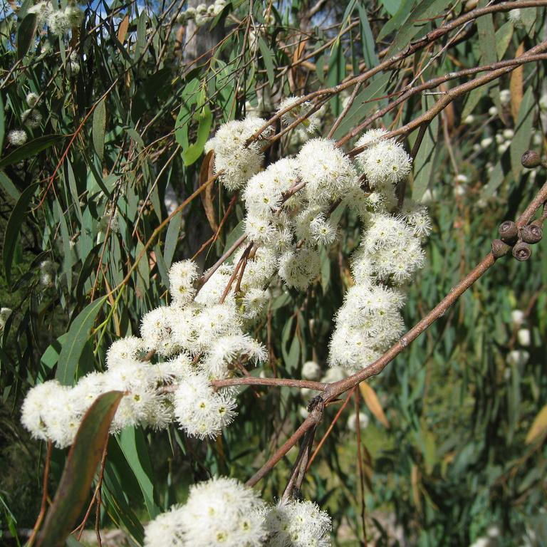 Variétés de taille moyenne ou de grande taille (de 10à 30m et plus) Eucalyptus radié (Eucalyptus radiata)