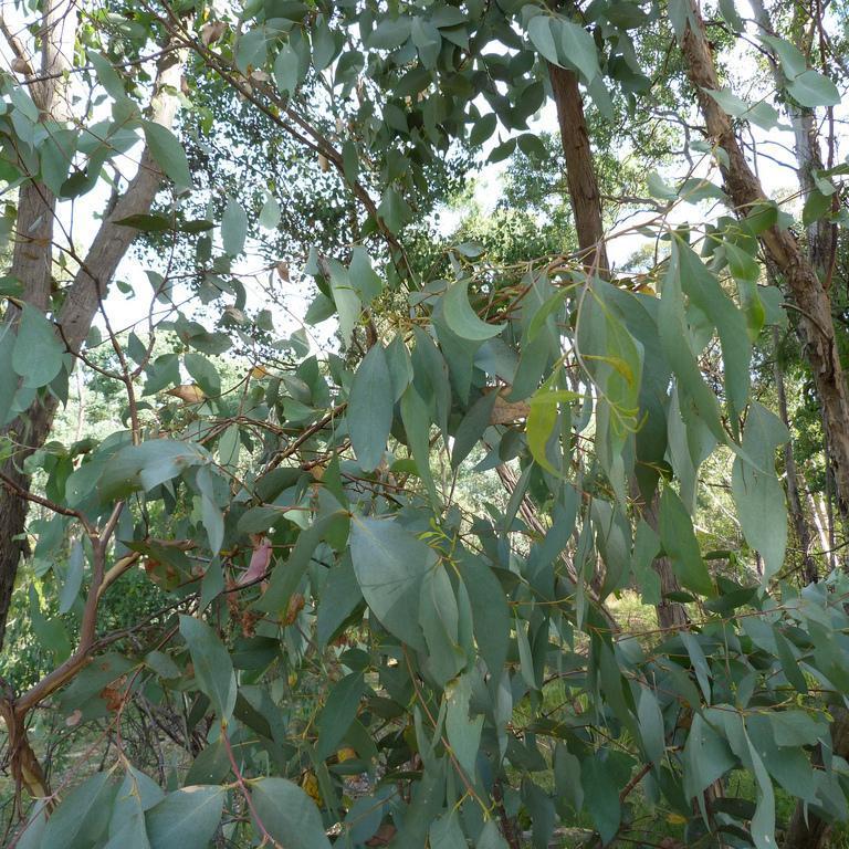 Autres variétés Eucalyptus mentholé (Eucalyptus dives)