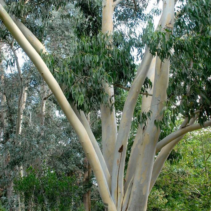 Variétés adaptées à un sol calcaire Gommier blanc des montagnes (Eucalyptus dalrympleana)