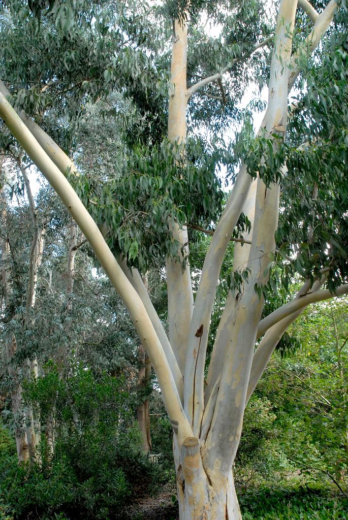 Eucalyptus Planter Et Tailler Ooreka