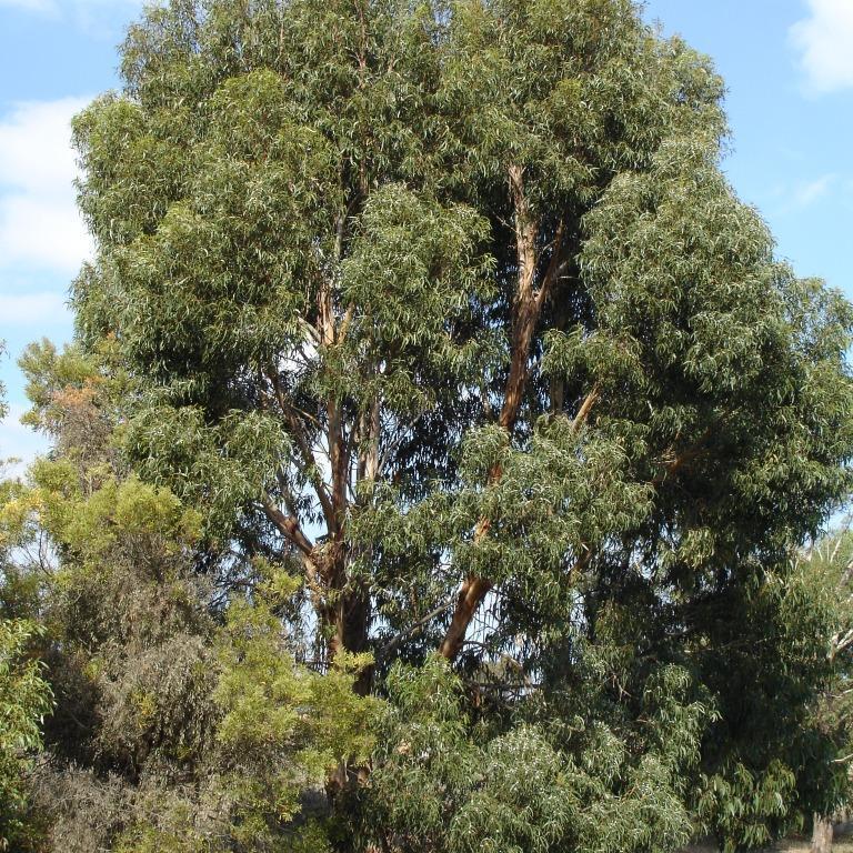 Variétés adaptées à un sol calcaire Gommier à feuilles cordiformes (Eucalyptus cordata)