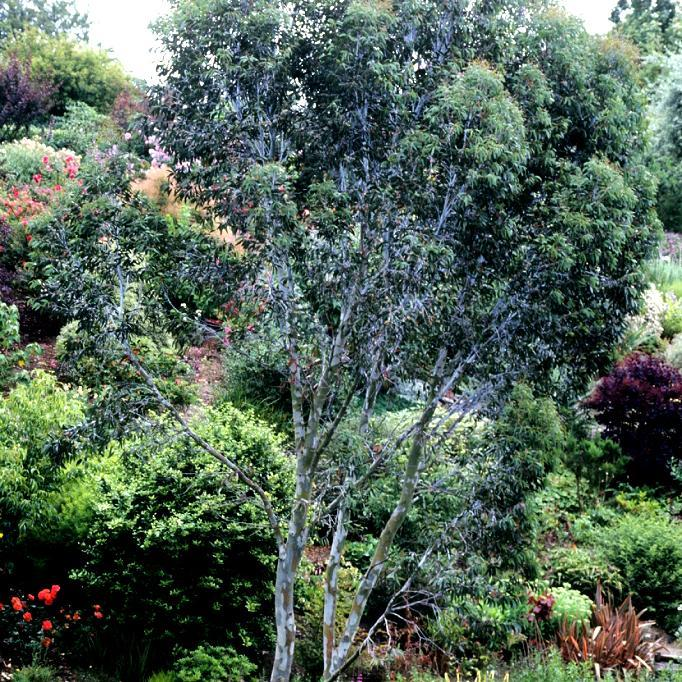 Variétés de taille moyenne ou de grande taille (de 10à 30m et plus) Eucalyptus commun ou gommier bleu (Eucalyptus globulus)