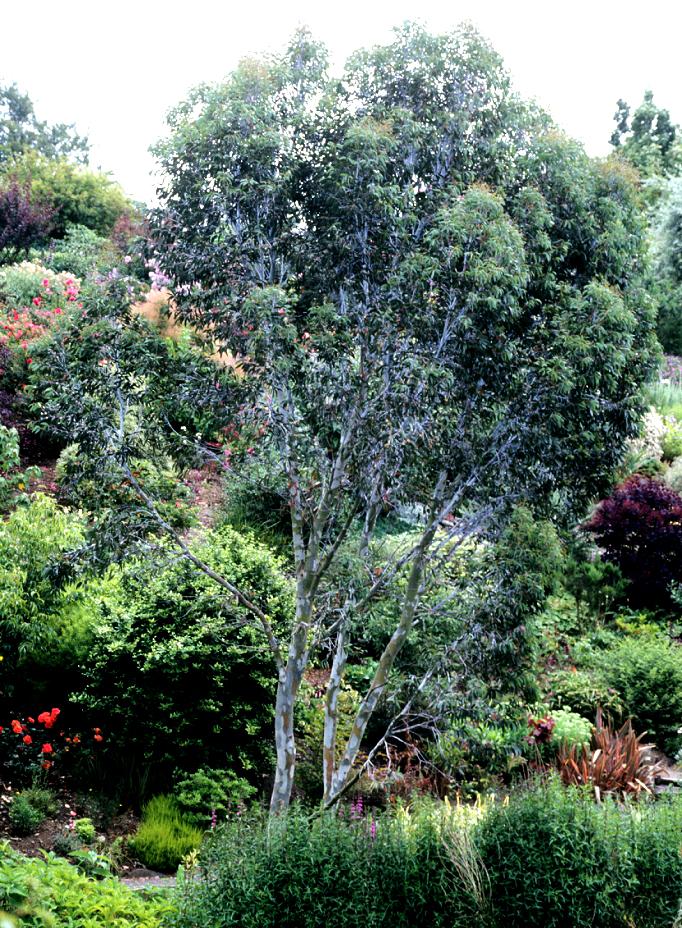 Eucalyptus planter et tailler ooreka - Planter un eucalyptus dans son jardin ...