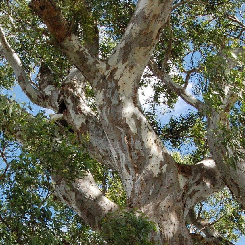 Variétés de taille moyenne ou de grande taille (de 10à 30m et plus) Gommier des rivières ou Gommier rouge (Eucalyptus camaldulensis)