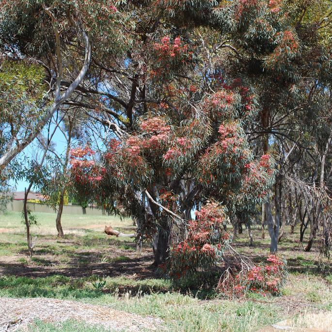 Variétés de petite taille (– de 10m) Gommier corail (Eucalyptus torquata)