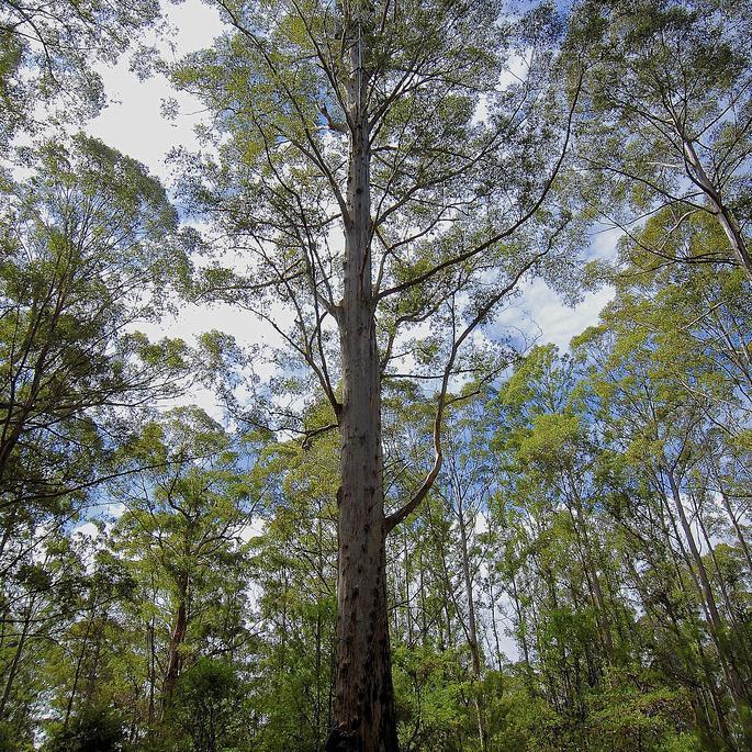 Variétés de taille moyenne ou de grande taille (de 10à 30m et plus) Karri (Eucalyptus diversicolor)