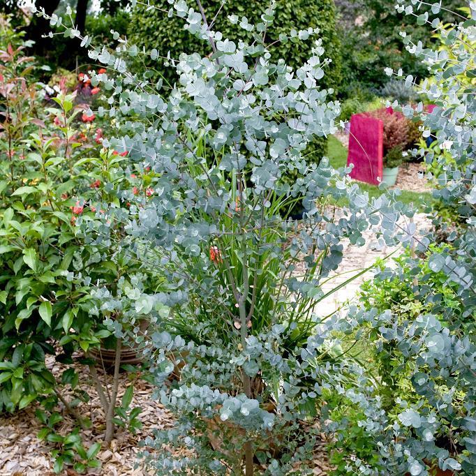 Variétés de petite taille (– de 10m) Gommier bleu (Eucalyptus gunnii 'Azura')