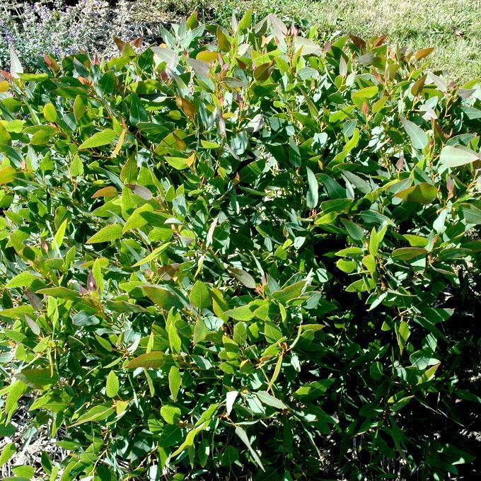 Variétés de taille moyenne ou de grande taille (de 10à 30m et plus) Eucalyptus à feuilles rondes (Eucalyptus gunnii)