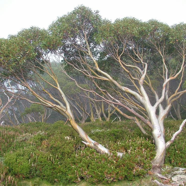 Variétés de petite taille (– de 10m) Eucalyptus nain gregsoniana (Eucalyptus pauciflora 'Nana')