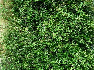 Semis et plantation du muehlenbeckia