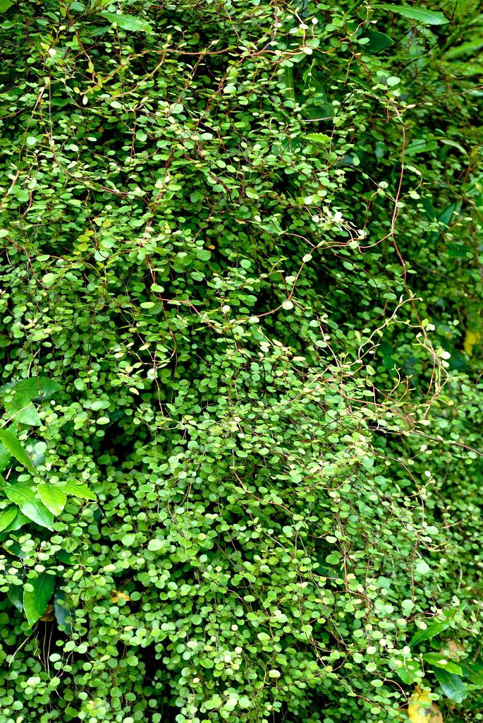 Muehlenbeckia planter et cultiver ooreka for Plante ornementale