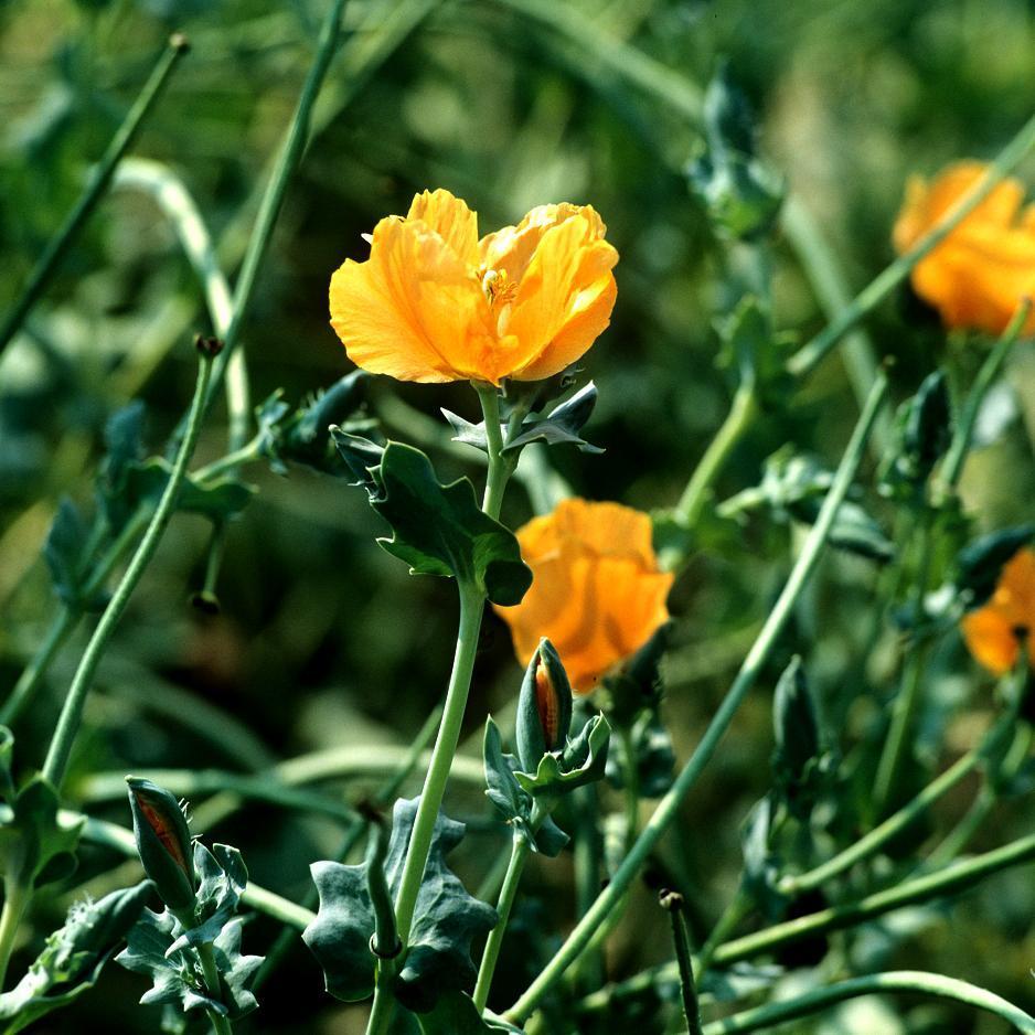 Glaucium flavum (Pavot cornu, pavot jaune)