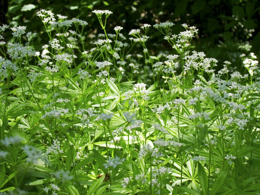 Asp rule odorante planter et r colter ooreka for Plante odorante