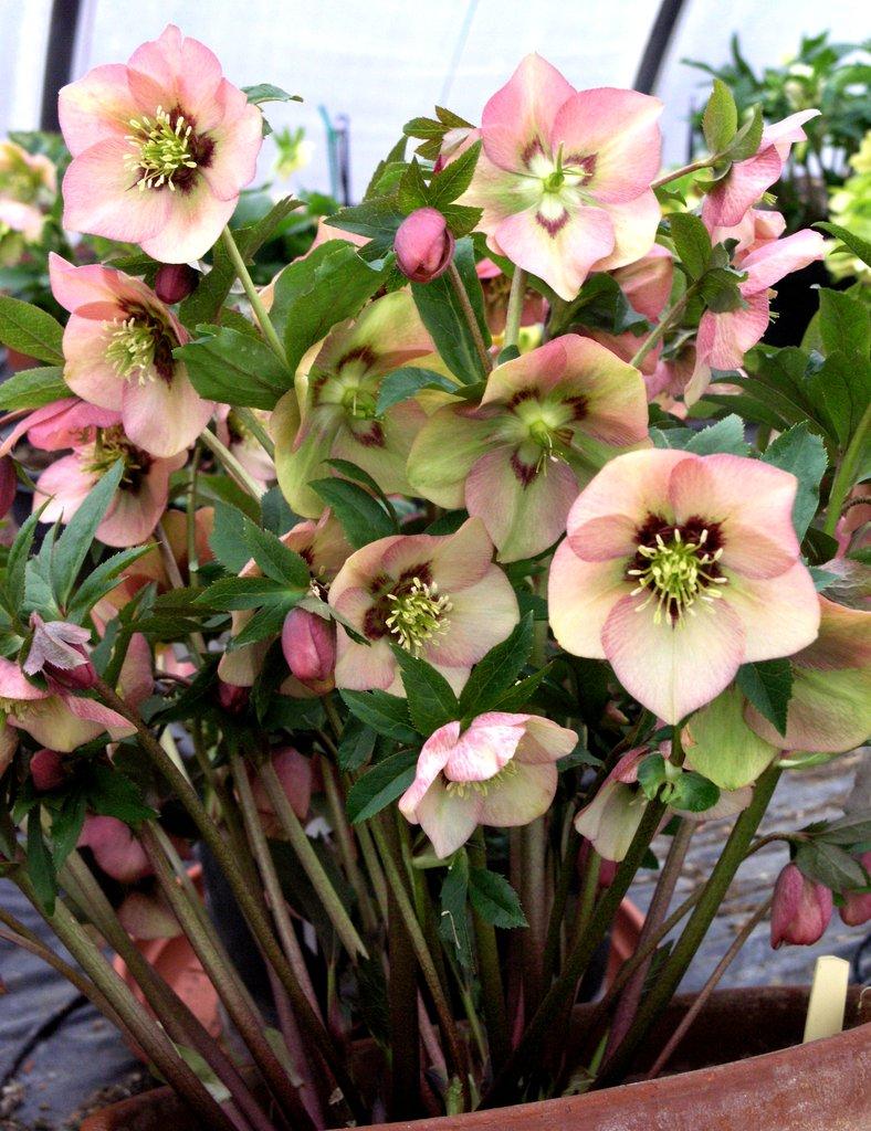 Hellebore Rose De Noel Entretien hellébore : planter et entretenir – ooreka