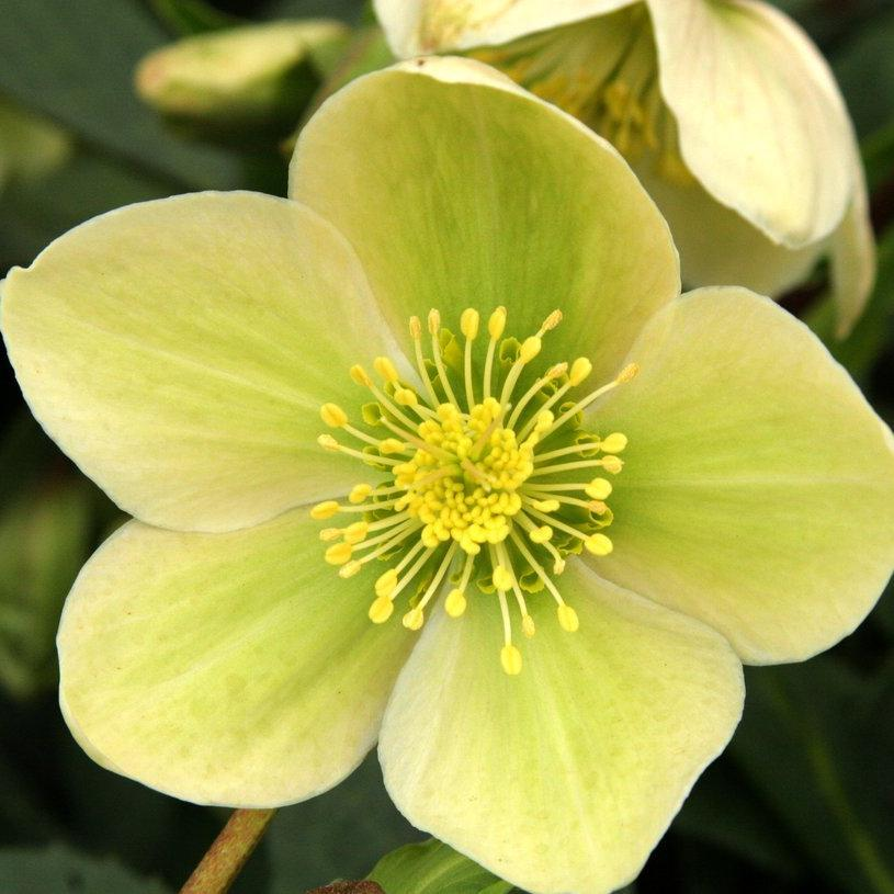Hybrides Série Gold Collection, groupe Early Spring 'Green Corsican'