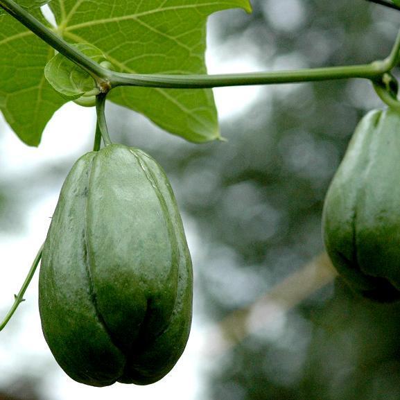 Légume Chayotte (Sechium edule)