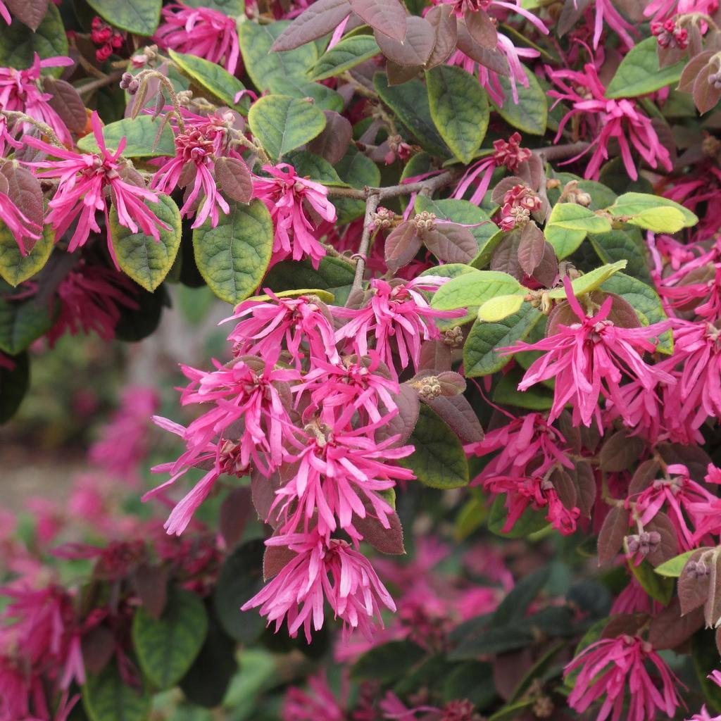 loropetalum  planter et cultiver – ooreka