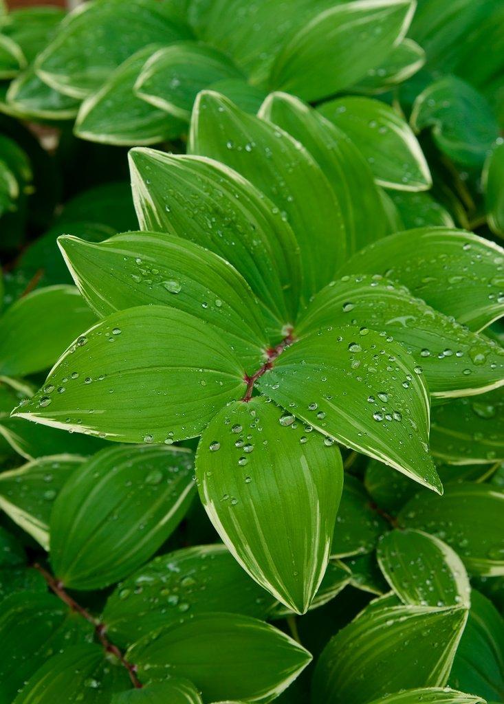 Sceau de salomon planter et cultiver ooreka - Comment trouver le nom d une plante ...