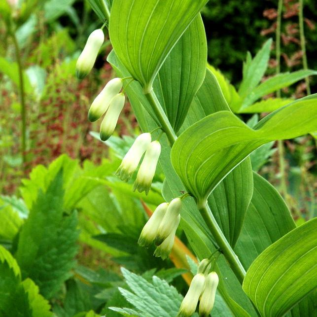 Sceau-de-Salomon, polygonatum multiflore (P.multiflorum ou x hybridum)