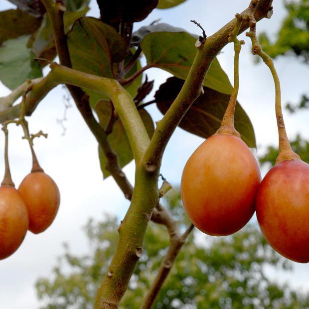 Tamarillo à fruits orange