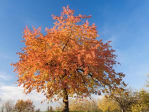 Culture et entretien du cerisier