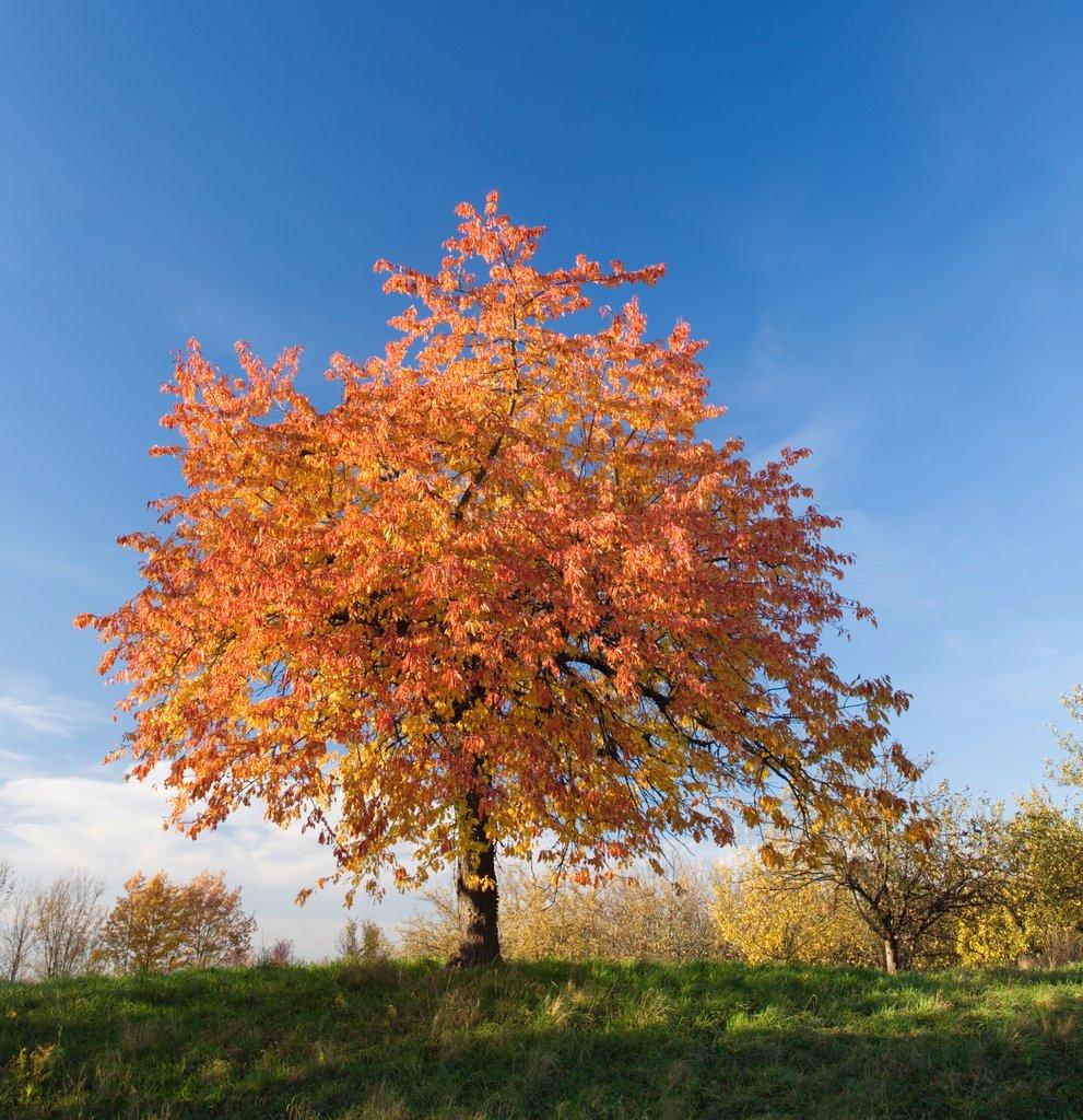 Cerisier planter et cultiver ooreka - Taille des rosiers automne ...