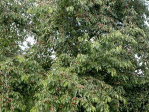 Plantation du cerisier