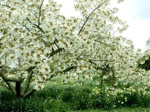 Multiplication du cerisier