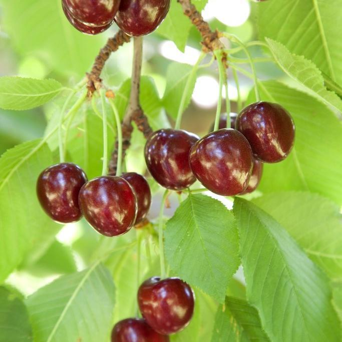 Cerisiers à fruits Cerisier des oiseaux ou merisier (Prunus avium)