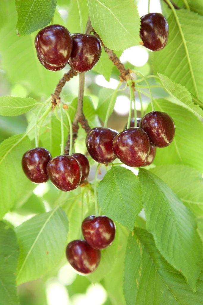 Cerisier planter et cultiver ooreka - Maladie du cerisier ...