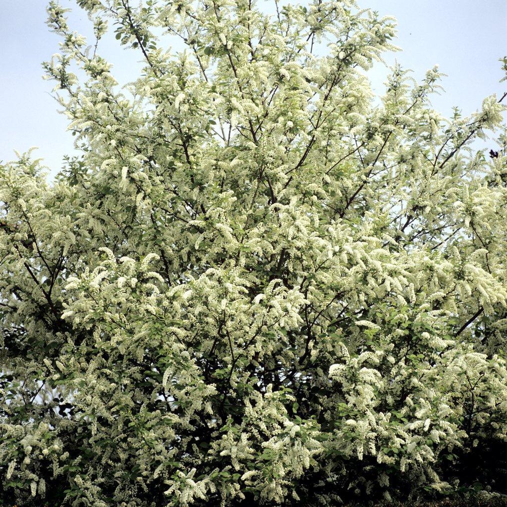 Cerisiers ornementaux à fleurs Merisier à grappes ou bois puant (Prunus padus)