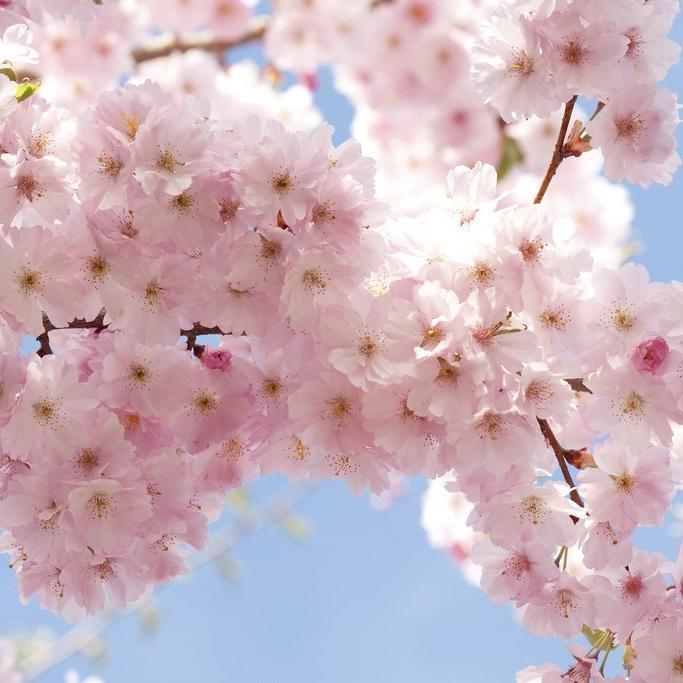 Cerisiers ornementaux arbrisseaux décoratifs Cerisier de Corée (Prunus japonica)