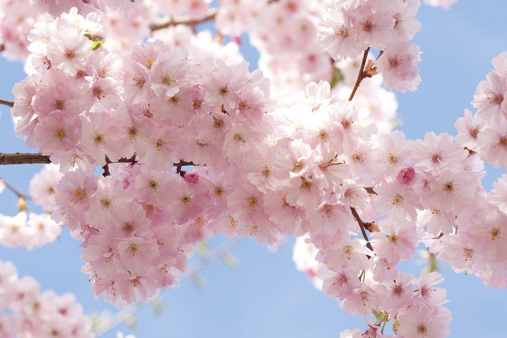 Cerisier planter et cultiver ooreka for Achat de fleurs