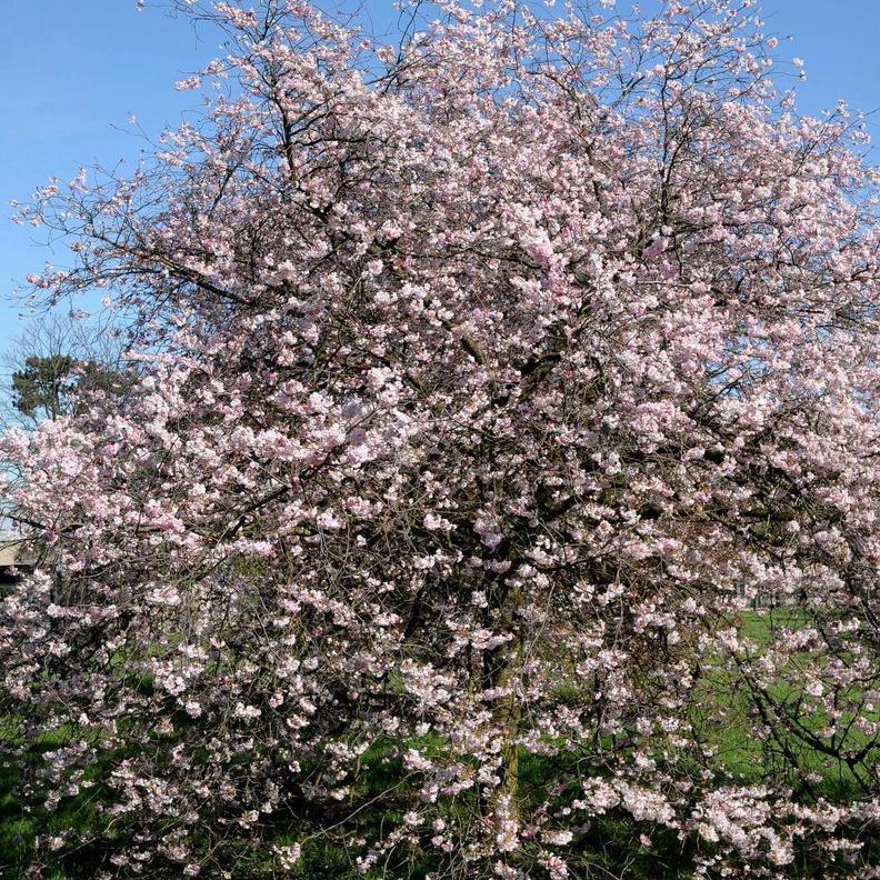 Cerisiers ornementaux à fleurs Prunus x 'Accolade' (Hybride de Prunus x subhirtella et Prunus sargentii)
