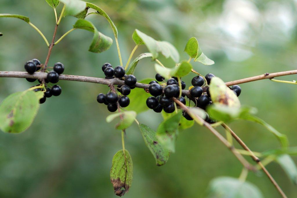 Cerisier Planter Et Cultiver Ooreka