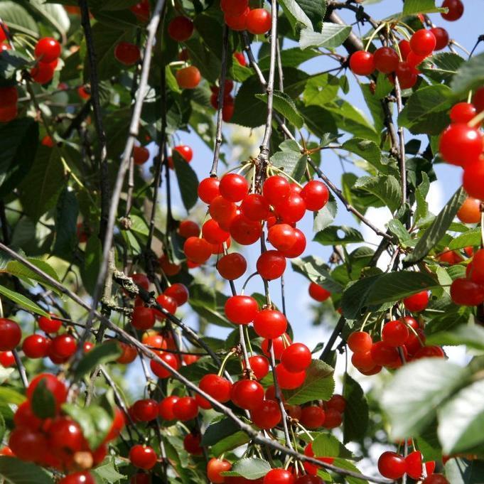 Cerisiers à fruits Griottier (Prunus cesarus)