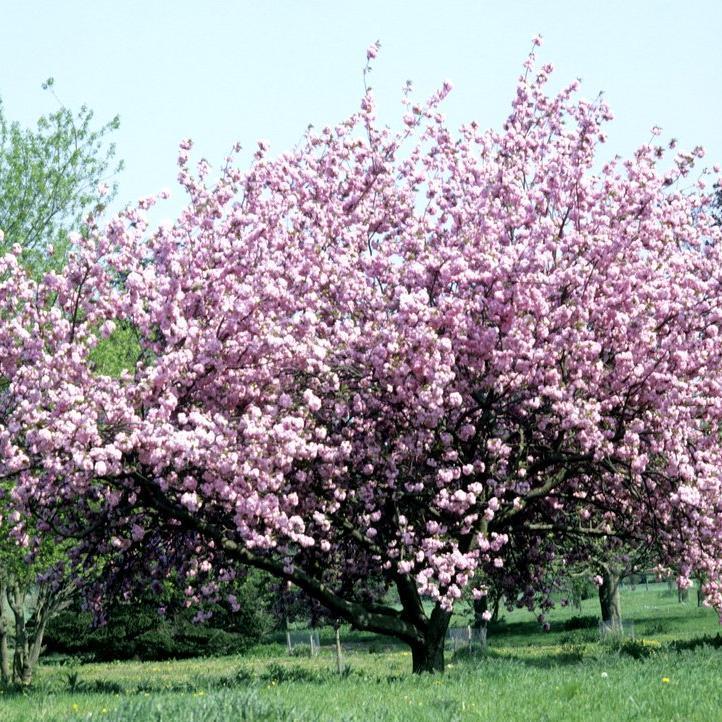 Cerisiers ornementaux à fleurs Cerisier du Japon 'Kanzan' (Prunus serrulata)