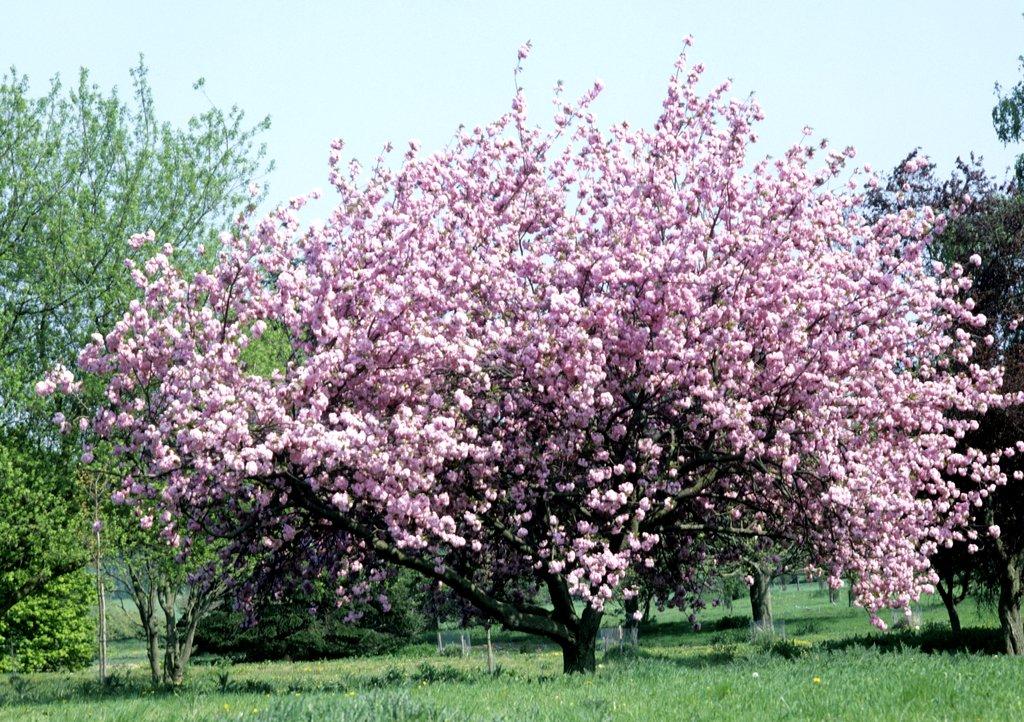 Cerisier planter et cultiver ooreka - Taille du pecher au printemps ...