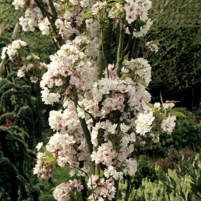 Cerisiers ornementaux à fleurs Cerisier du Japon