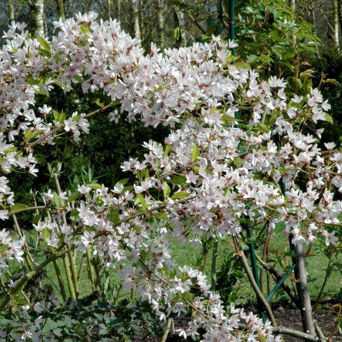 Cerisiers ornementaux à fleurs Prunus x subhirtella 'Stellata'